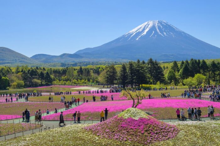 Pink moss at the Mt Fuji Shibazakura festival in Japan