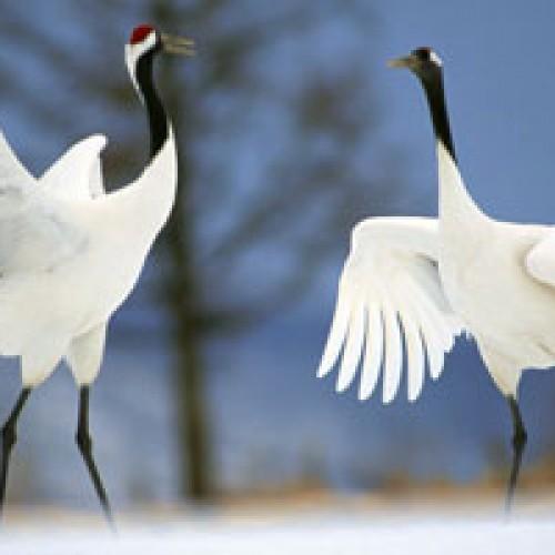 Cranes dancing in Kushiro, Hokkaido, Japan