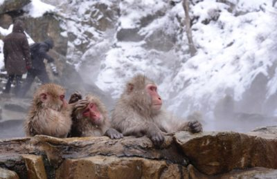Snow monkeys enjoying a hot spring in winter in Nagano, Japan