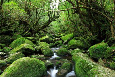 Old forest in Yakushima, Kagoshima, Japan