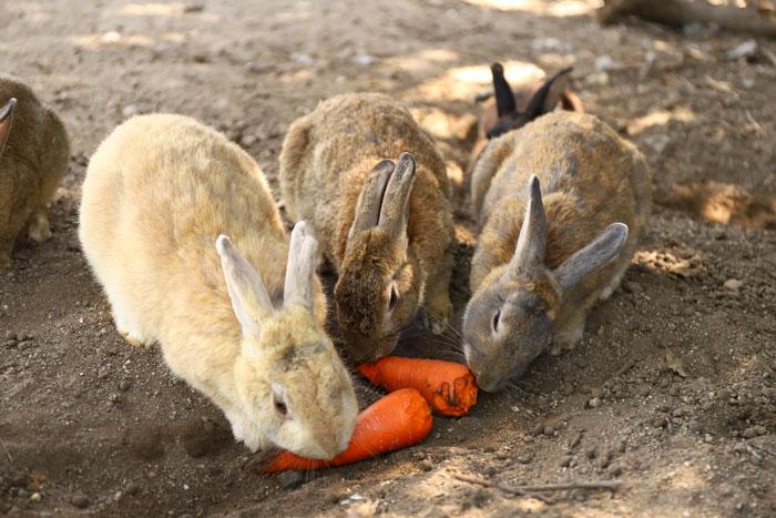 Rabbits on rabbit island Okunoshima near Hiroshima, Japan