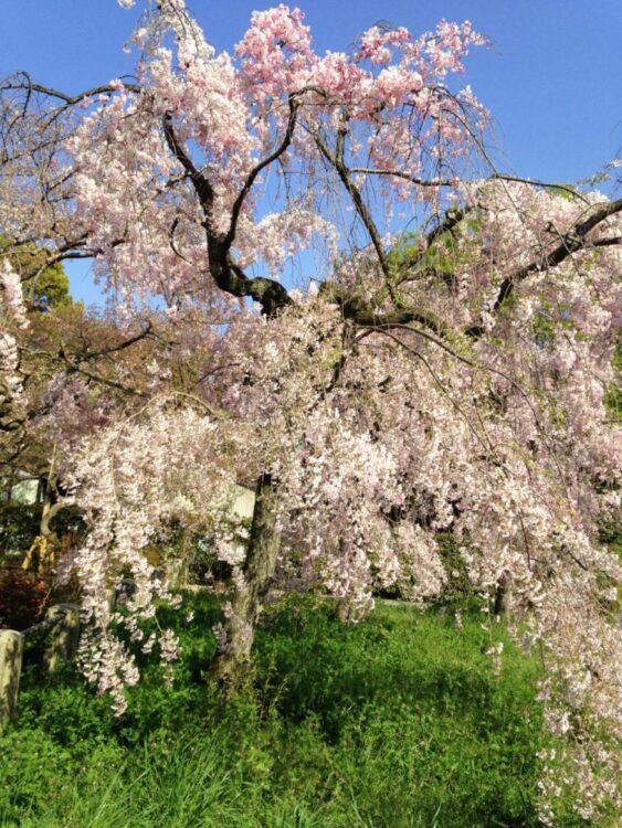 Sakura cherry blossom in Japan