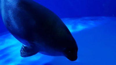 Seal in Maxell Aqua Park aquarium in Shinagawa, Tokyo, Japan