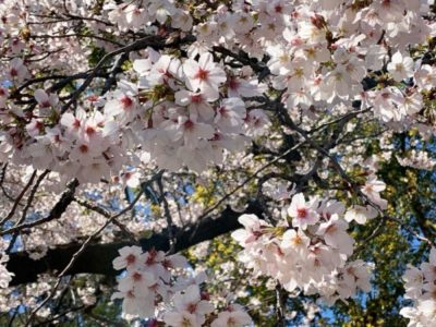 Blooming cherry blossoms as you can see them on a