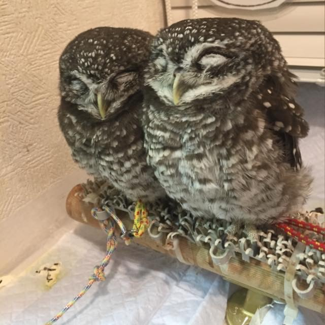 Cute owls in an owl cafe in Tokyo, Japan