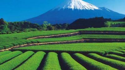 Tea fields with Mt Fuji in the background in Shizuoka, Japan