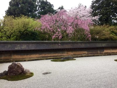 Ryoanji temple in Kyoto, Japan with cherry blossoms during spring