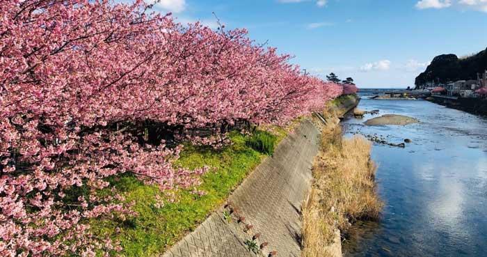 Cherry blossoms in Kawazu, Shizuoka, Japan