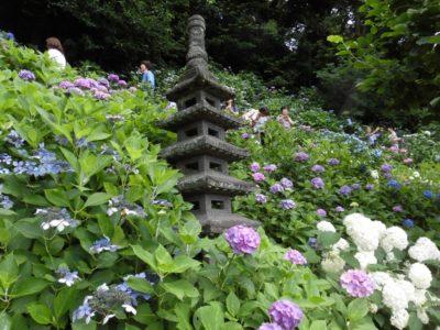 hydrangea, Hasedera, Kamakura