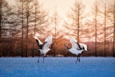 Japanese cranes dancing in Hokkaido, Japan