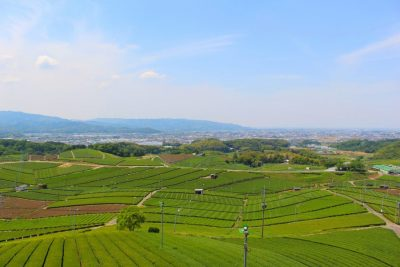 Green tea plantation in Yame, Kyushu, Japan