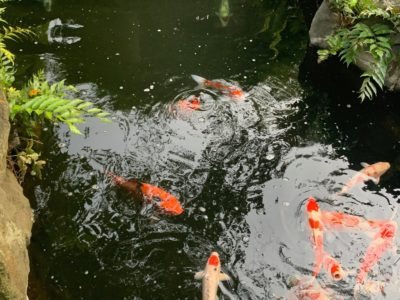 Koi fish in the pond of the Sensoji temple in Asakusa, Tokyo