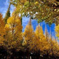 Fall Foliage in Japan