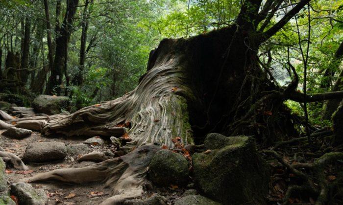 Very old tree in Yakushima, Japan