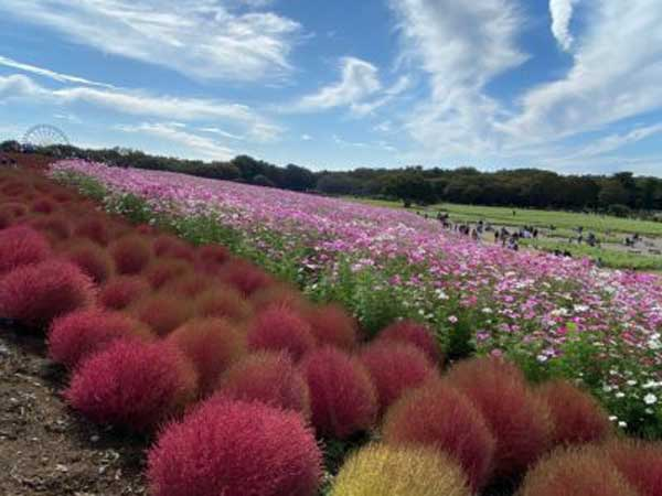 Seasonal flowers in Hitachi Flower Park, Ibaraki, Japan