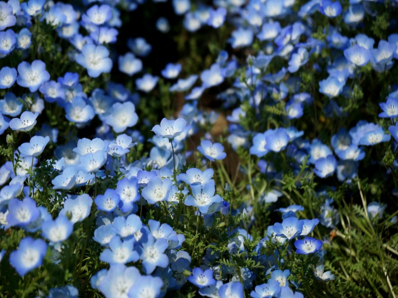 Hemophilia blue flowers in Hitachi Seaside Park in Ibaraki, Japan