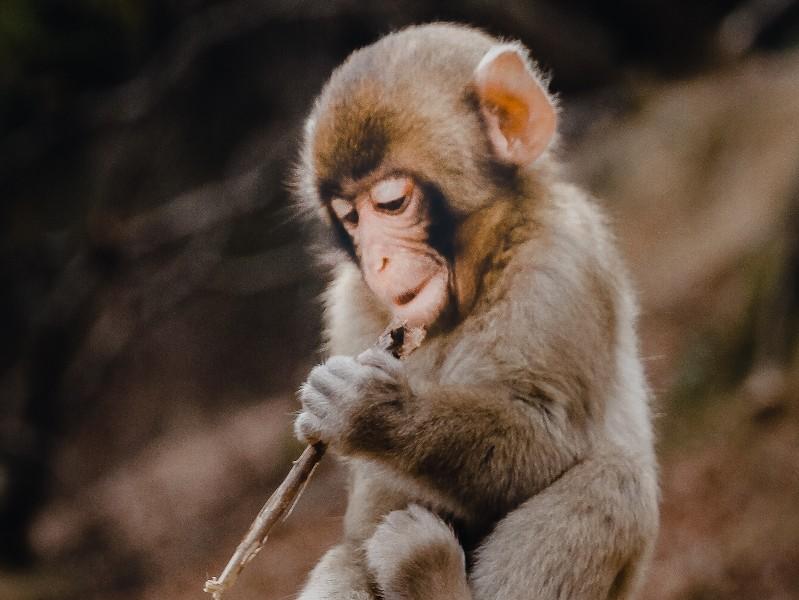 Baby monkey in the Arashiyama Monkey Park in Kyoto