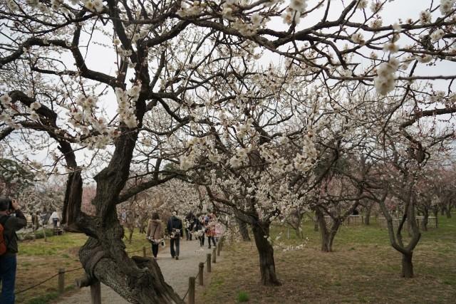 Blooming plum blossoms in the Kairakuen Garden in Mito, Japan