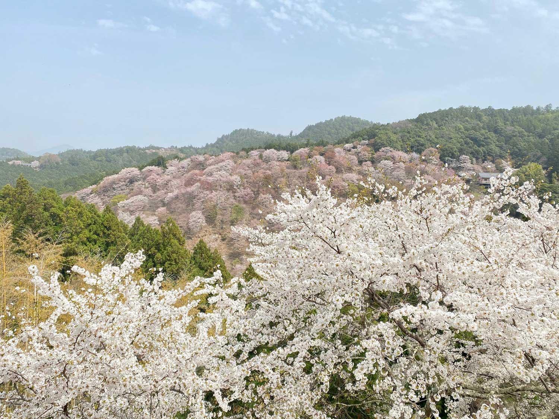 Cherry blossoms on Mount Yoshino in Nara, Japan
