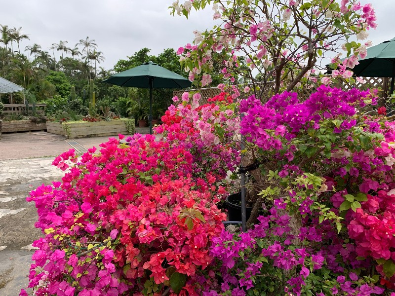 Azalea in the Southeast Botanical Garden in Okinawa, Japan